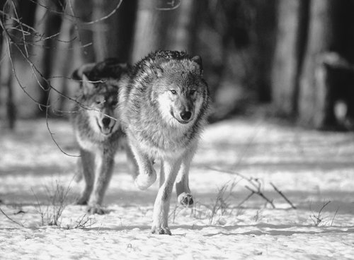 Wolf shot in Luce County