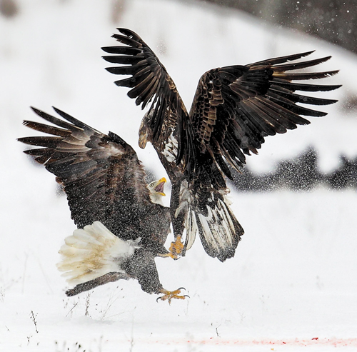 MICHIGAN EAGLES