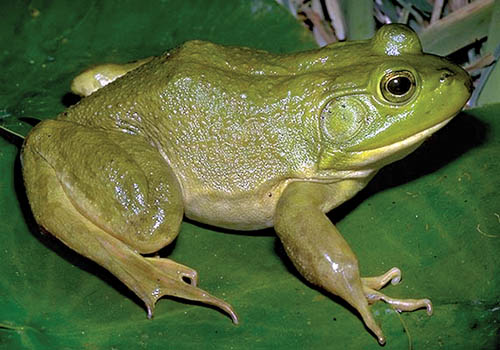 Frog Calls  and  Frog Legs