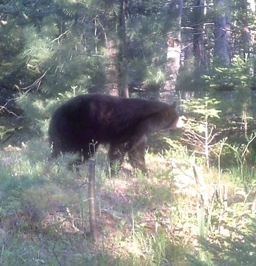 Spring Bear Hunt Proposed