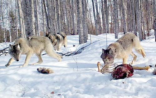 The USFWS Considering Taking Michigan Wolves off the Federal Endangered Species List
