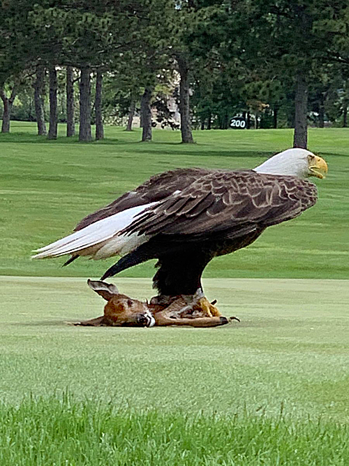 Bald Eagle preys on fawn