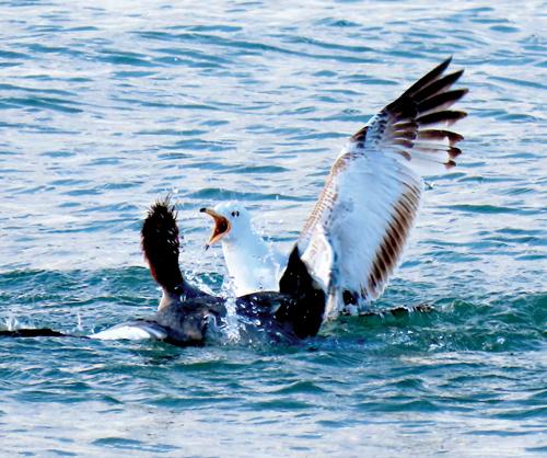 Merganser vs Herring Gull